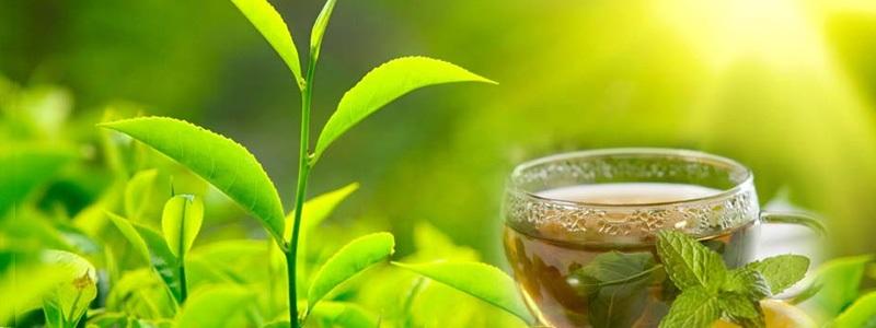 Biała herbata - czym jest, właściwości, parzenie